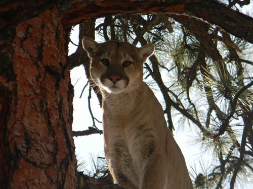 2012 New Mexico Mountain Lion Hunting Season Changes